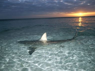 blacktip-shark-fin_