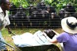Female chimpanzee Dorothy died of heart failure and as she was being carried away, behind the fence together all the chimpanzees stood silently, some with hands on the shoulders of one another.