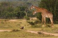 Giraffes watching a wild dog go by
