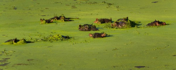 Hippo in Duckweed
