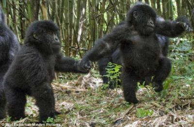 Infant Mountain gorilla twins Isango and Isangano explore in the Virunga Mountains.