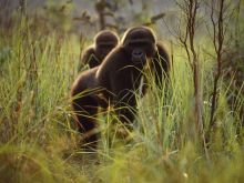 lowland-gorillas-652045-082709_3639_990x742