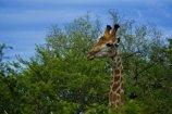 Peeping Tom KNP - (Chris Martin Wildlife Photography)