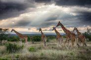 Reticulated Giraffes at Segera Retreat, Kenya - Michael Poliza Photographer