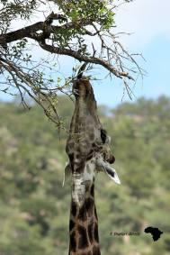 The reach of a giraffe
