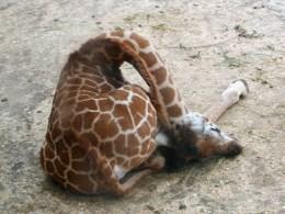This is how a giraffe sleeps