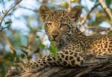 A stunning leopard cub portrait by Kyle de Nobrega.