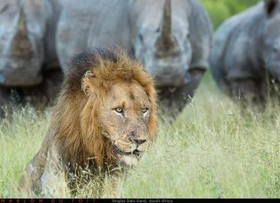 A wall of rhino approaches a huge male lion by Marlon du Toit Photography