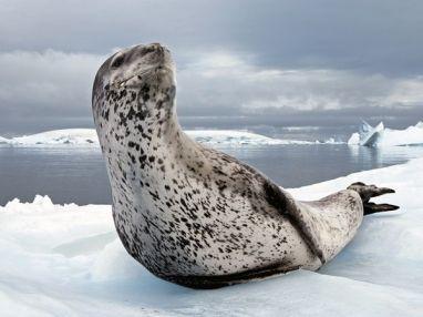 adult-leopard-seal_Antarctic