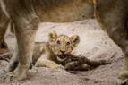 cub with stick