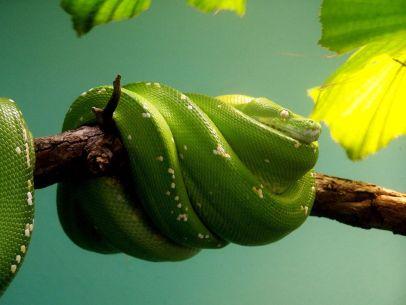 green-snake-branch-080909_3635_990x742