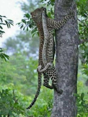 Leopard with a snake in India