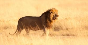 Male Lion, Ongava Game Reserve, Namibia