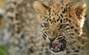 Roar of the Amur leopard cub!