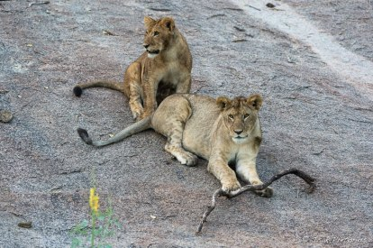 Serengeti on a kopje - Isak Pretorious Wildlife Photography