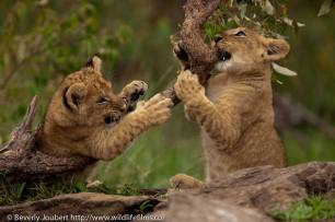 Showing a branch just how ferocious young cubs can be