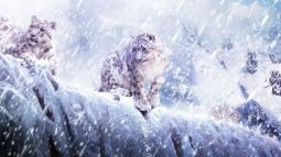 Snow Leopards in the blizzard - (Panthera uncia or Uncia uncia)