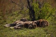 Tsalala-and-Sparta-Males -- 30Sept12 Londolozi