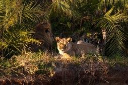Tsalala Breakaway lioness with Majingalane male in Sand River - 5Oct12 Londolozi