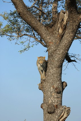 Up a Marula Tree