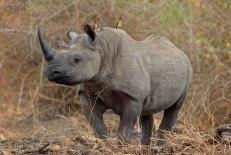 Black rhino2_large Singita