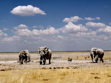 Elephants, Etosha NP, Namibia