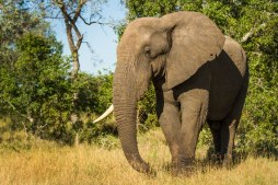 One tusked bull at Londolozi April 2013