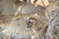 Osbornes at Londolozi