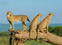 A female cheetah and her sub-adult cubs stand on a fallen tree trunk to get a better view of their surroundings.