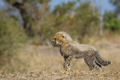 An amazing adaption for camouflage and confusion. The black and white coat of a young cheetah cub, allows them to disappear into the grasslands. Kate Neill