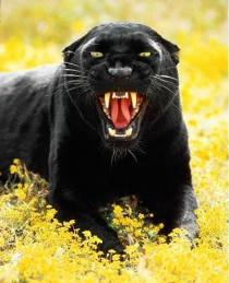 Angry panther