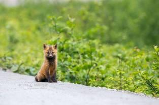 Canadian fox pup