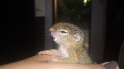 Chitwa Chitwa Thando Tree Squirrel