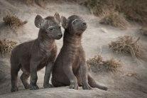 HyenaCubs