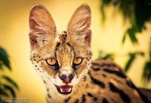Serval - Alison Buttigieg