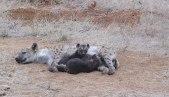 Spotted Hyena mum & cubs - Photo © 2012 animalbox.ru