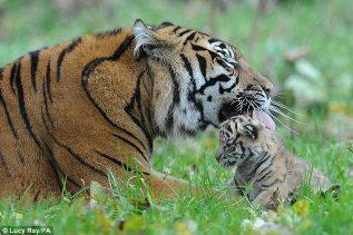 Sumatran tiger (Panthera tigris sumatrae), is a rare tiger subspecies that inhabits the Indonesian island of Sumatra.