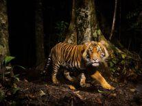tiger-sumatra-winter_43249_990x742