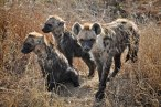 Waiting for clan to return Skukuza KNP - (Chris Martin Wildlife Photography)