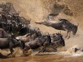 wildebeests-jumping-kenya_28400_990x742