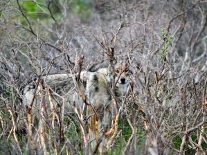 Wolf in Denali NP - Photograph by Brian Montalbo