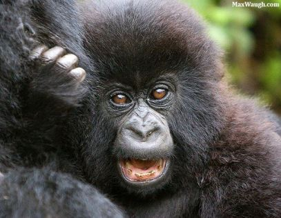Cute baby Gorilla, by Max Waugh.