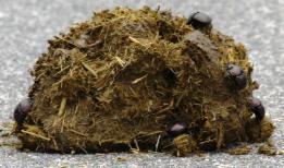 Dung Beetles hard at work