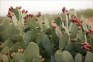 More prickly pears