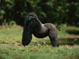 silverback-western-lowland-gorilla_Odzala Park Congo