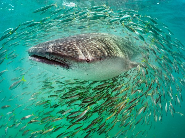 whale-shark-fish-skerry_59628_990x742