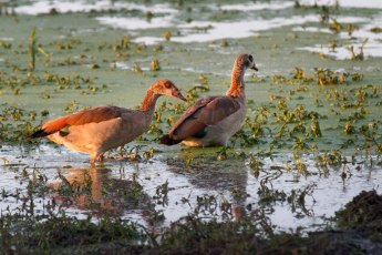 A pair of Egyptian Geese use the last of the evening light to forage in the shallows of Shingalana Dam.