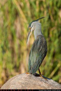A stunning Green-backed Heron