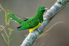 African Emerald Cuckoo - Chrysococcyx cupreus - by Hugh Chittenden