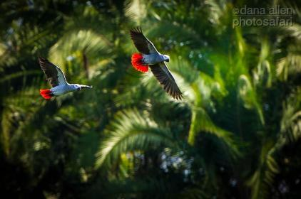 African Grey Parrot by Dana Allen - PhotoSafari